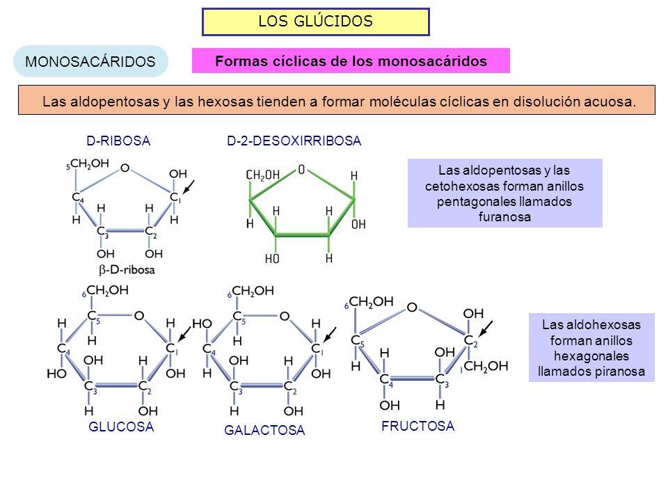 LOS GLÚCIDOS MONOSACÁRIDOS Formas cíclicas de los monosacáridos GLUCOSA GALACTOSA FRUCTOSA D-RIBOSA D-2-DESOXIRRIBOSA Las aldopentosas y las hexosas tienden a formar moléculas cíclicas en disolución acuosa.