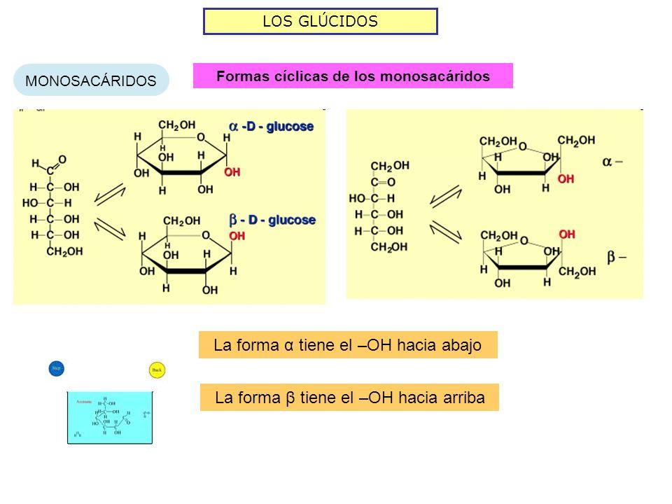 LOS GLÚCIDOS MONOSACÁRIDOS Formas cíclicas de los monosacáridos La forma α tiene el –OH hacia abajo La forma β tiene el –OH hacia arriba