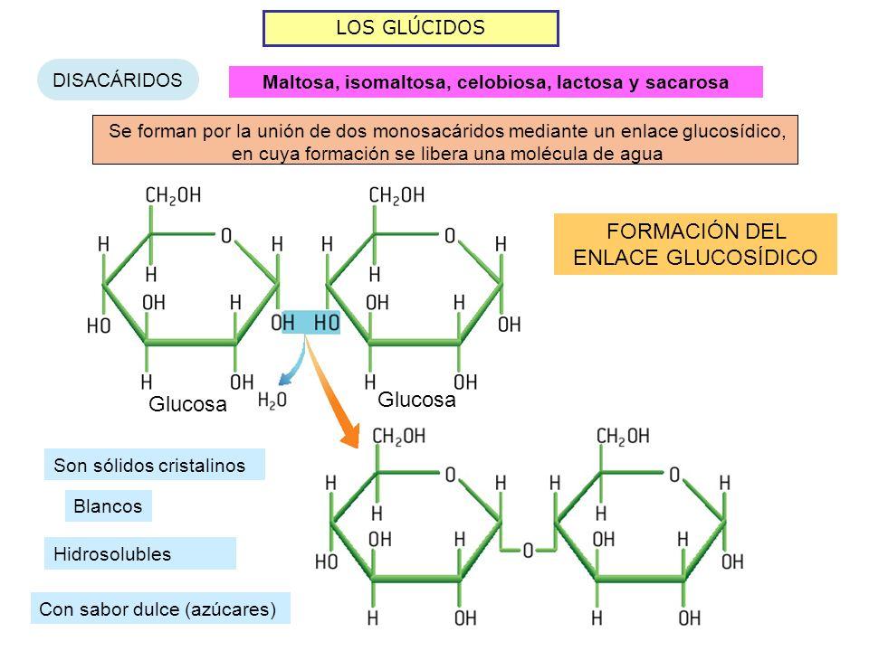 LOS GLÚCIDOS DISACÁRIDOS Se forman por la unión de dos monosacáridos mediante un enlace glucosídico, en cuya formación se libera una molécula de agua Glucosa FORMACIÓN DEL ENLACE GLUCOSÍDICO Maltosa, isomaltosa, celobiosa, lactosa y sacarosa Son sólidos cristalinos Blancos Hidrosolubles Con sabor dulce (azúcares)