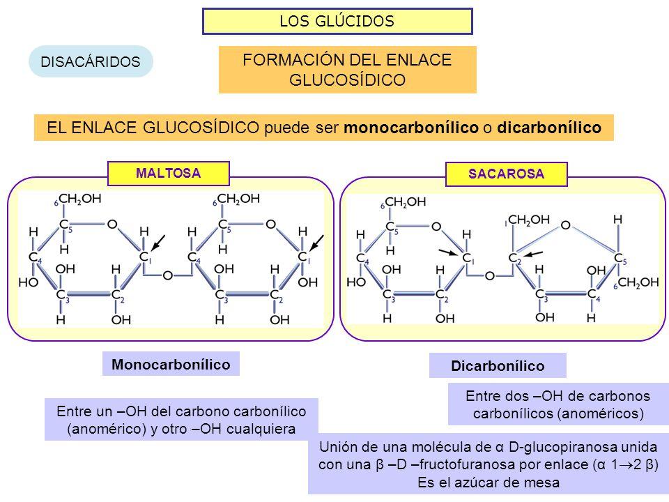 LOS GLÚCIDOS DISACÁRIDOS FORMACIÓN DEL ENLACE GLUCOSÍDICO EL ENLACE GLUCOSÍDICO puede ser monocarbonílico o dicarbonílico MALTOSA Monocarbonílico Entre un –OH del carbono carbonílico (anomérico) y otro –OH cualquiera SACAROSA Dicarbonílico Entre dos –OH de carbonos carbonílicos (anoméricos) Unión de una molécula de α D-glucopiranosa unida con una β –D –fructofuranosa por enlace (α 1 2 β) Es el azúcar de mesa