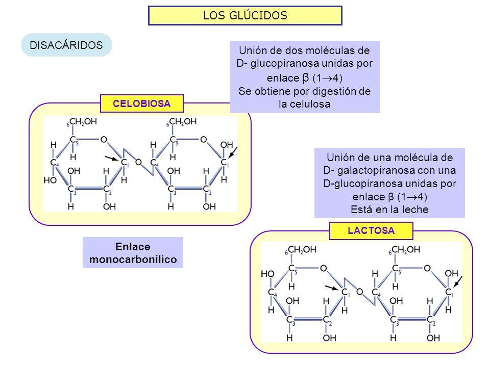 LOS GLÚCIDOS DISACÁRIDOS CELOBIOSA Enlace monocarbonílico Unión de dos moléculas de D- glucopiranosa unidas por enlace β (1 4) Se obtiene por digestión de la celulosa LACTOSA Unión de una molécula de D- galactopiranosa con una D-glucopiranosa unidas por enlace β (1 4) Está en la leche