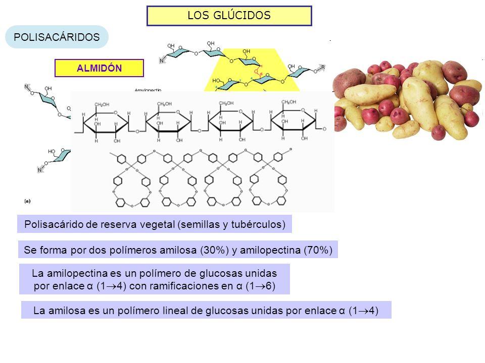LOS GLÚCIDOS POLISACÁRIDOS ALMIDÓN Polisacárido de reserva vegetal (semillas y tubérculos) Se forma por dos polímeros amilosa (30%) y amilopectina (70%) La amilopectina es un polímero de glucosas unidas por enlace α (1 4) con ramificaciones en α (1 6) La amilosa es un polímero lineal de glucosas unidas por enlace α (1 4)