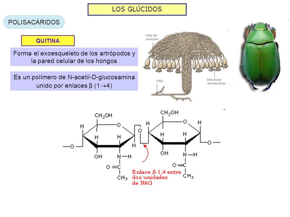 LOS GLÚCIDOS POLISACÁRIDOS QUITINA Forma el exoesqueleto de los artrópodos y la pared celular de los hongos Es un polímero de N-acetil-D-glucosamina unido por enlaces β (1 4)