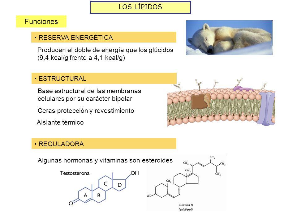 LOS LÍPIDOS Funciones RESERVA ENERGÉTICA Producen el doble de energía que los glúcidos (9,4 kcal/g frente a 4,1 kcal/g) ESTRUCTURAL Base estructural de las membranas celulares por su carácter bipolar Ceras protección y revestimiento REGULADORA Algunas hormonas y vitaminas son esteroides Aislante térmico