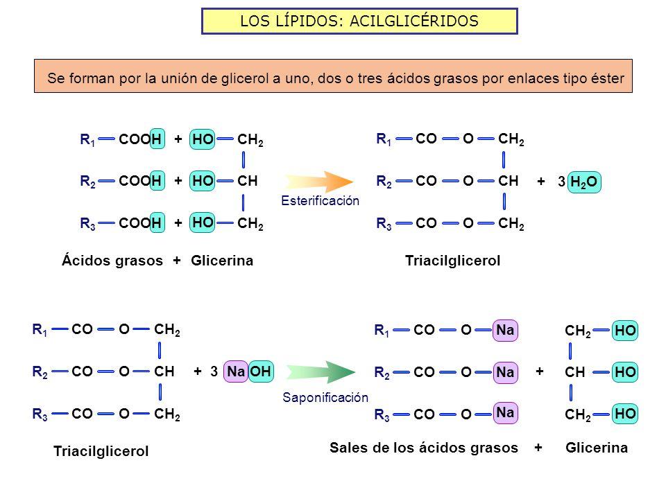 LOS LÍPIDOS: ACILGLICÉRIDOS GlicerinaÁcidos grasos + + + + Esterificación R1R1 COOH R2R2 R3R3 CH 2 CH CH 2 HO Triacilglicerol + 3 H 2 O CH 2 CH CH 2 O O O R1R1 R2R2 R3R3 CO Triacilglicerol CH 2 CH CH 2 O O O R1R1 R2R2 R3R3 CO + 3 Na OH Sales de los ácidos grasos Na O O O R1R1 R2R2 R3R3 CO CH 2 CH CH 2 HO + Saponificación Glicerina+ Se forman por la unión de glicerol a uno, dos o tres ácidos grasos por enlaces tipo éster