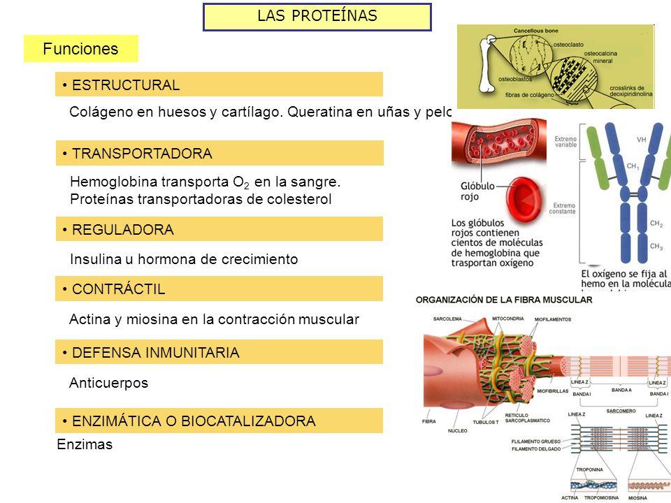 LAS PROTEÍNAS Funciones ESTRUCTURAL Colágeno en huesos y cartílago.