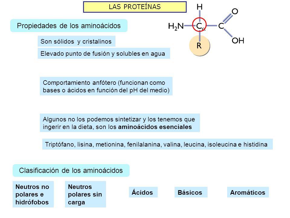 LAS PROTEÍNAS Propiedades de los aminoácidos Son sólidos y cristalinos Elevado punto de fusión y solubles en agua Comportamiento anfótero (funcionan como bases o ácidos en función del pH del medio) Algunos no los podemos sintetizar y los tenemos que ingerir en la dieta, son los aminoácidos esenciales Triptófano, lisina, metionina, fenilalanina, valina, leucina, isoleucina e histidina Clasificación de los aminoácidos Neutros no polares e hidrófobos Neutros polares sin carga ÁcidosBásicosAromáticos