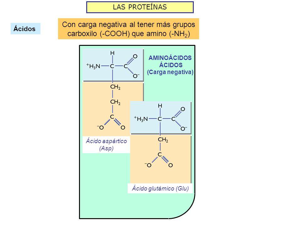 LAS PROTEÍNAS Ácidos Con carga negativa al tener más grupos carboxilo (-COOH) que amino (-NH 2 ) AMINOÁCIDOS ÁCIDOS (Carga negativa) Ácido aspártico (Asp) Ácido glutámico (Glu)