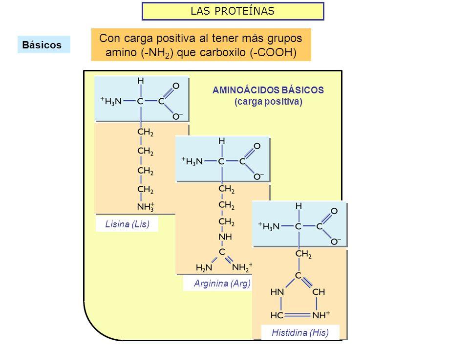 LAS PROTEÍNAS Básicos Con carga positiva al tener más grupos amino (-NH 2 ) que carboxilo (-COOH) AMINOÁCIDOS BÁSICOS (carga positiva) Lisina (Lis) Arginina (Arg) Histidina (His)