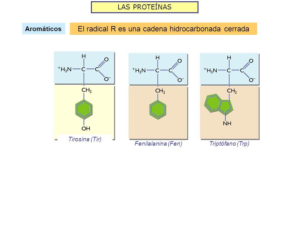 LAS PROTEÍNAS Aromáticos El radical R es una cadena hidrocarbonada cerrada Tirosina (Tir) Fenilalanina (Fen)Triptófano (Trp)