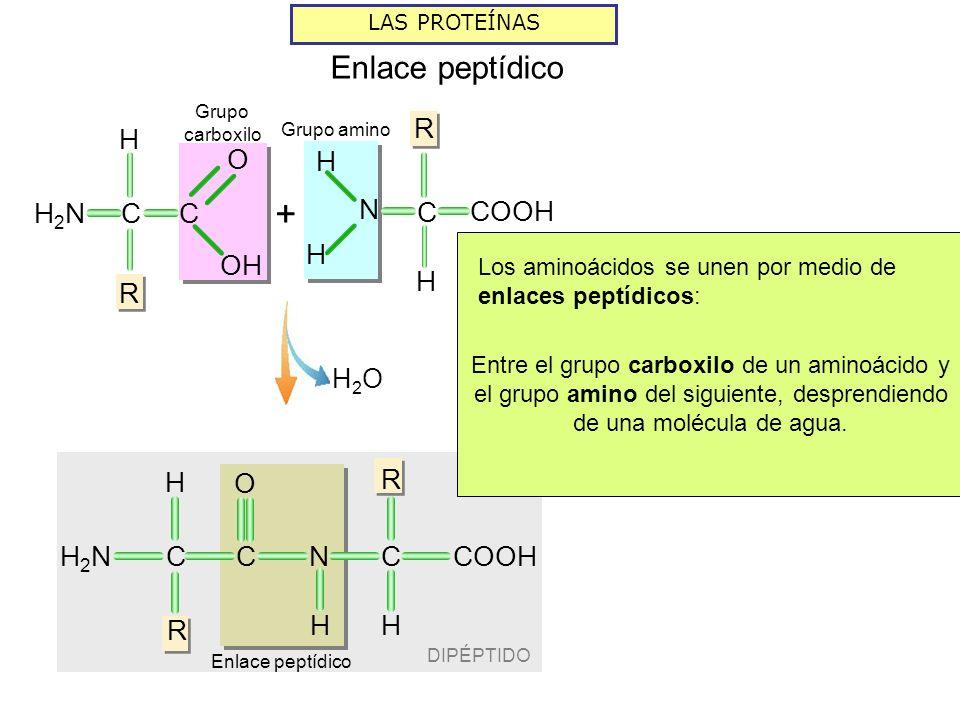 DIPÉPTIDO LAS PROTEÍNAS Enlace peptídico H2OH2O Grupo amino R H COOH N C H H H R CH2NH2NC O R H NC H Grupo carboxilo C H R H2NH2N C OH O + Los aminoácidos se unen por medio de enlaces peptídicos: Entre el grupo carboxilo de un aminoácido y el grupo amino del siguiente, desprendiendo de una molécula de agua.