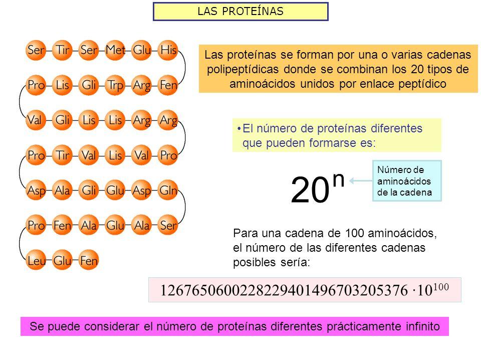 LAS PROTEÍNAS El número de proteínas diferentes que pueden formarse es: 20 n Número de aminoácidos de la cadena Para una cadena de 100 aminoácidos, el número de las diferentes cadenas posibles sería: 1267650600228229401496703205376 ·10 100 Las proteínas se forman por una o varias cadenas polipeptídicas donde se combinan los 20 tipos de aminoácidos unidos por enlace peptídico Se puede considerar el número de proteínas diferentes prácticamente infinito