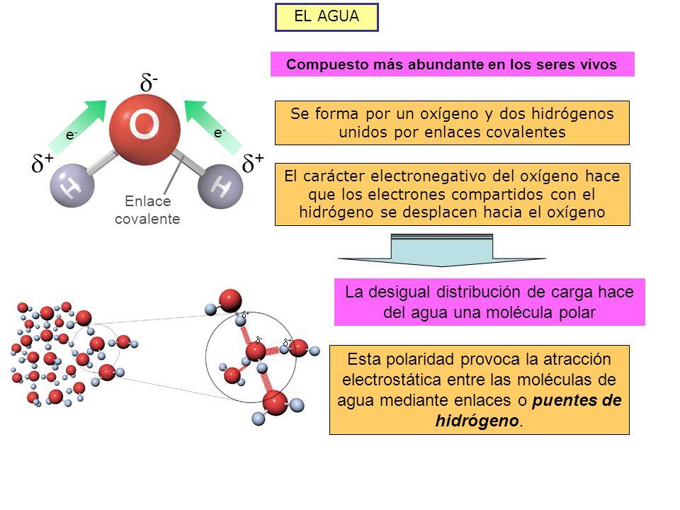 EL AGUA Compuesto más abundante en los seres vivos + + - Enlace covalente e-e- e-e- Se forma por un oxígeno y dos hidrógenos unidos por enlaces covalentes El carácter electronegativo del oxígeno hace que los electrones compartidos con el hidrógeno se desplacen hacia el oxígeno La desigual distribución de carga hace del agua una molécula polar Esta polaridad provoca la atracción electrostática entre las moléculas de agua mediante enlaces o puentes de hidrógeno.