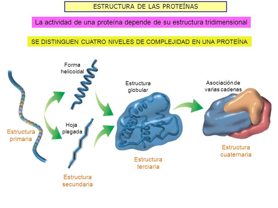 ESTRUCTURA DE LAS PROTEÍNAS SE DISTINGUEN CUATRO NIVELES DE COMPLEJIDAD EN UNA PROTEÍNA Estructura primaria Hoja plegada Forma helicoidal Estructura secundaria Estructura terciaria Estructura globular Estructura cuaternaria Asociación de varias cadenas La actividad de una proteína depende de su estructura tridimensional
