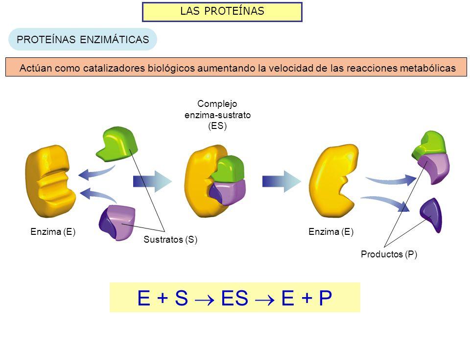 LAS PROTEÍNAS PROTEÍNAS ENZIMÁTICAS Actúan como catalizadores biológicos aumentando la velocidad de las reacciones metabólicas Enzima (E) Sustratos (S) Complejo enzima-sustrato (ES) Enzima (E) Productos (P) E + S ES E + P