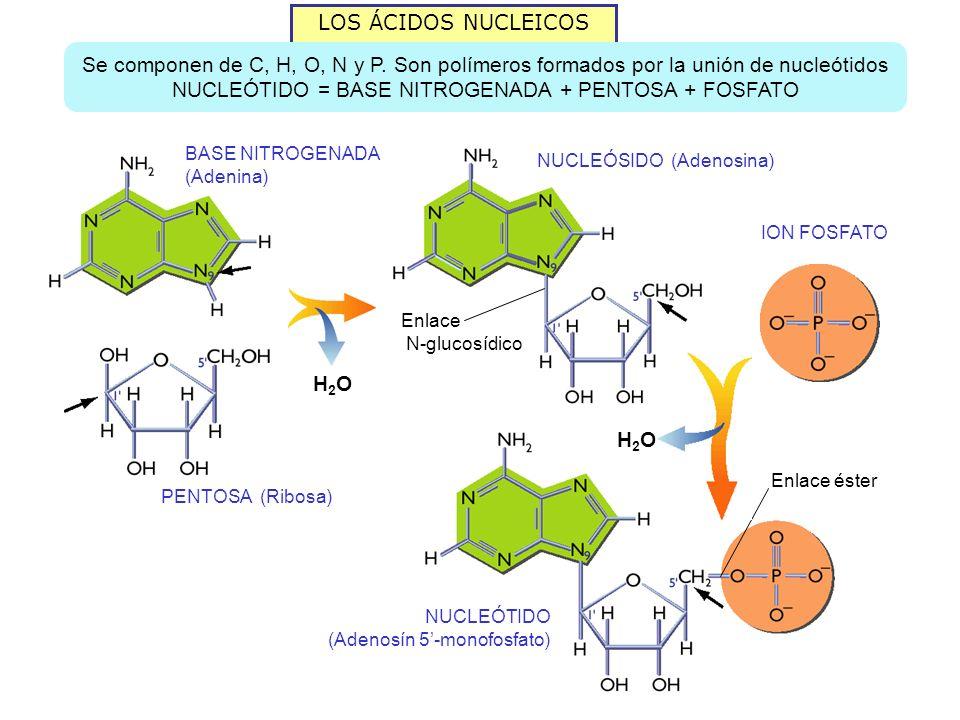LOS ÁCIDOS NUCLEICOS Se componen de C, H, O, N y P.