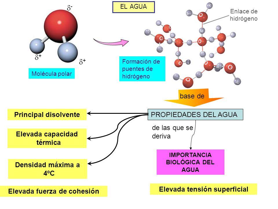 EL AGUA FUNCIONES DEL AGUA EN LOS SERES VIVOS Disolvente Disuelve la mayor parte de biomoléculas, lo que permite el desarrollo de las reacciones metabólicas en su seno Bioquímica Participa en reacciones, como la hidrólisis (ruptura de enlaces introduciéndose agua) Transporte El agua transporta las sustancias entre el exterior y el interior de la célula Estructural La presión del agua mantiene el volumen y la forma de células sin membrana rígida Termorreguladora Su elevado calor específico y calor de vaporización evita los cambios bruscos de temperatura en los organismos
