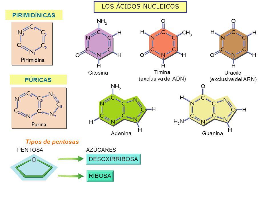 LOS ÁCIDOS NUCLEICOS PIRIMIDÍNICAS PÚRICAS Citosina Timina (exclusiva del ADN) Uracilo (exclusiva del ARN) AdeninaGuanina PENTOSA AZÚCARES Tipos de pentosas DESOXIRRIBOSA RIBOSA