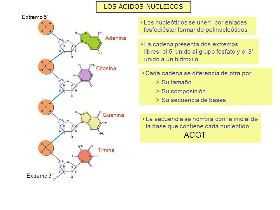 LOS ÁCIDOS NUCLEICOS Los nucleótidos se unen por enlaces fosfodiéster formando polinucleótidos Adenina Citosina Timina Guanina Extremo 3 La cadena presenta dos extremos libres: el 5 unido al grupo fosfato y el 3 unido a un hidroxilo.