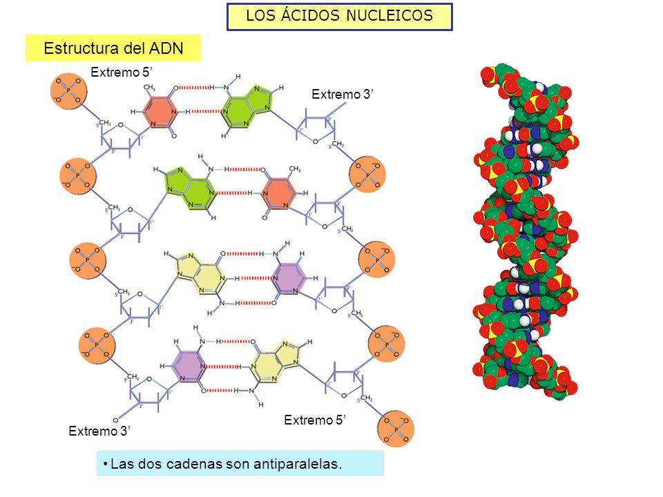 LOS ÁCIDOS NUCLEICOS Estructura del ADN Extremo 3 Extremo 5 Extremo 3 Extremo 5 Las dos cadenas son antiparalelas.