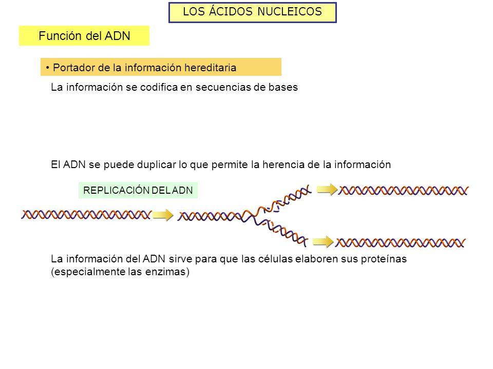 LOS ÁCIDOS NUCLEICOS Función del ADN Portador de la información hereditaria La información se codifica en secuencias de bases El ADN se puede duplicar lo que permite la herencia de la información REPLICACIÓN DEL ADN La información del ADN sirve para que las células elaboren sus proteínas (especialmente las enzimas)