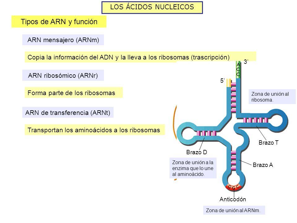LOS ÁCIDOS NUCLEICOS Tipos de ARN y función ARN mensajero (ARNm) Copia la información del ADN y la lleva a los ribosomas (trascripción) ARN mensajero ARN ribosómico (ARNr) Forma parte de los ribosomas ARN de transferencia (ARNt) Transportan los aminoácidos a los ribosomas 3 5 Brazo T Brazo A Brazo D Anticodón Zona de unión a la enzima que lo une al aminoácido.