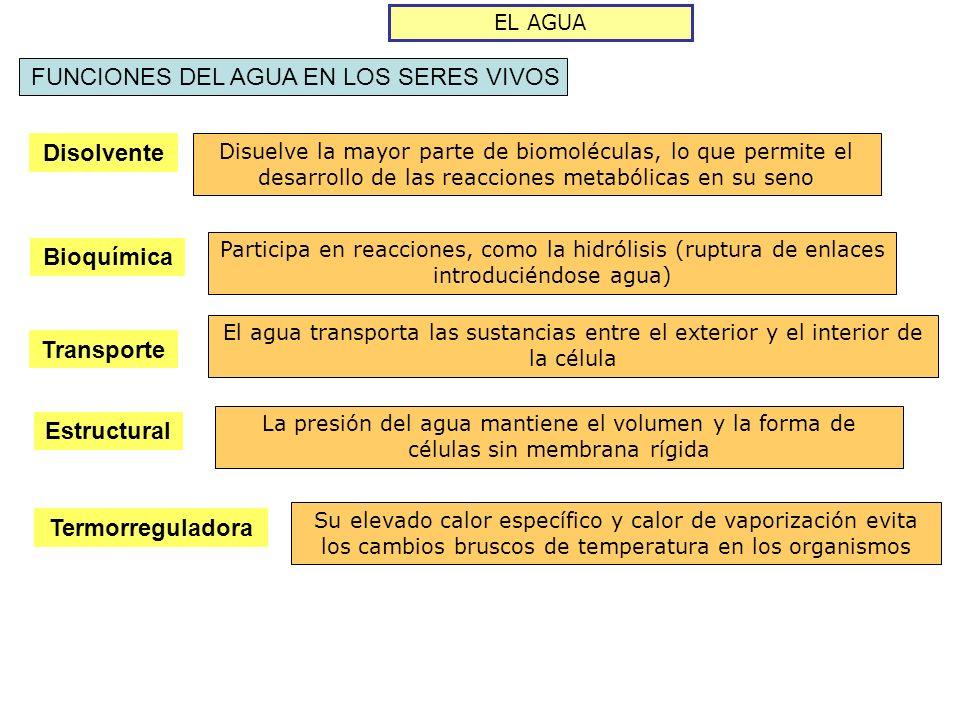 LOS LÍPIDOS ESTEROIDES ESTEROLES HORMONAS ESTEROIDEASÁCIDOS BILIARES