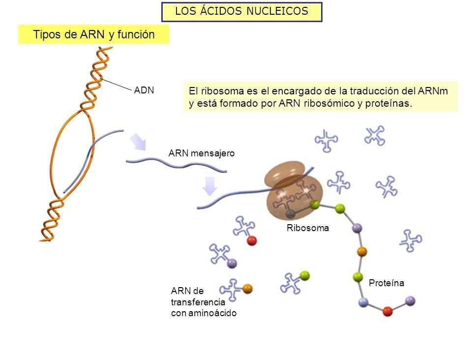 LOS ÁCIDOS NUCLEICOS Tipos de ARN y función ARN mensajero Ribosoma El ribosoma es el encargado de la traducción del ARNm y está formado por ARN ribosómico y proteínas.