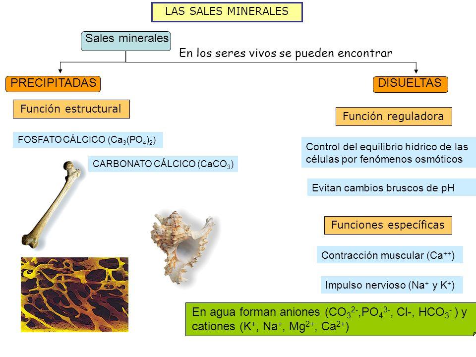 LAS SALES MINERALES Sales minerales PRECIPITADAS DISUELTAS En los seres vivos se pueden encontrar Función estructural FOSFATO CÁLCICO (Ca 3 (PO 4 ) 2 ) CARBONATO CÁLCICO (CaCO 3 ) En agua forman aniones (CO 3 2-,PO 4 3-, Cl-, HCO 3 - ) y cationes (K +, Na +, Mg 2+, Ca 2+ ) Función reguladora Evitan cambios bruscos de pH Funciones específicas Contracción muscular (Ca ++ ) Impulso nervioso (Na + y K + ) Control del equilibrio hídrico de las células por fenómenos osmóticos