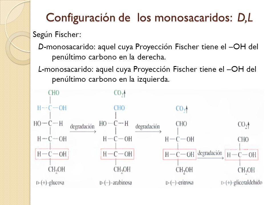 Configuración de los monosacaridos: D,L Según Fischer: D-monosacarido: aquel cuya Proyección Fischer tiene el –OH del penúltimo carbono en la derecha.