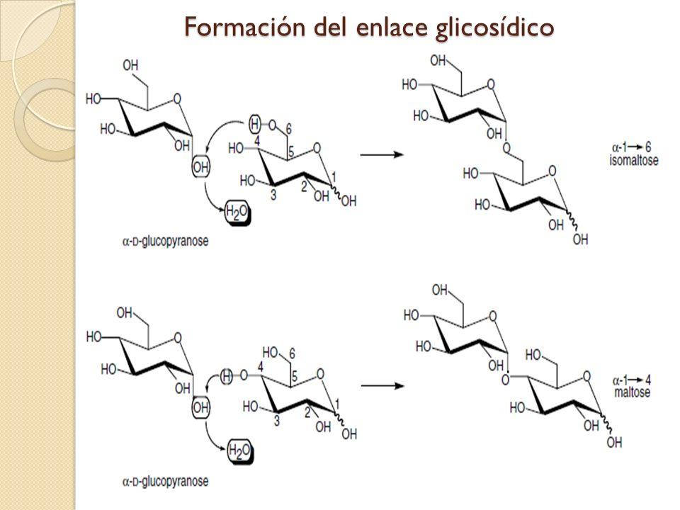 Formación del enlace glicosídico