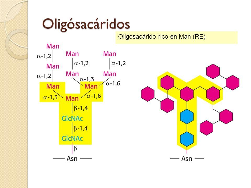 Oligósacáridos Oligosacárido rico en Man (RE)