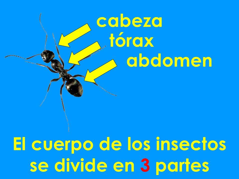 cabeza tórax abdomen El cuerpo de los insectos se divide en 3 partes