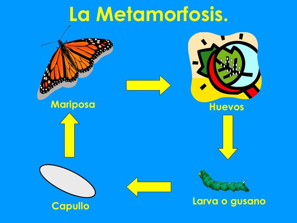 La Metamorfosis. Mariposa Huevos Larva o gusano Capullo
