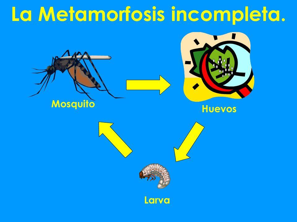 La Metamorfosis incompleta. Mosquito Huevos Larva