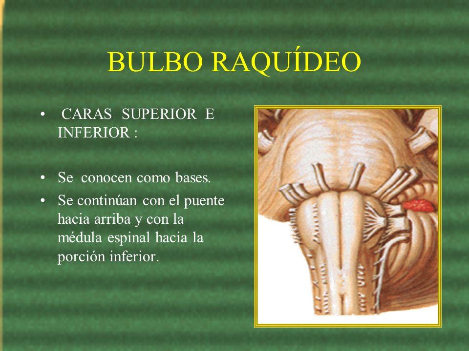 BULBO RAQUÍDEO CARAS SUPERIOR E INFERIOR : Se conocen como bases. Se continúan con el puente hacia arriba y con la médula espinal hacia la porción inf