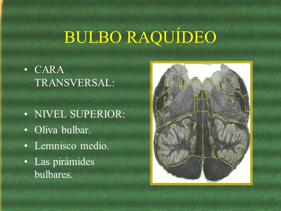 BULBO RAQUÍDEO CARA TRANSVERSAL: NIVEL SUPERIOR: Oliva bulbar. Lemnisco medio. Las pirámides bulbares.