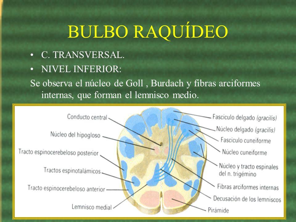 BULBO RAQUÍDEO C. TRANSVERSAL. NIVEL INFERIOR: Se observa el núcleo de Goll, Burdach y fibras arciformes internas, que forman el lemnisco medio.