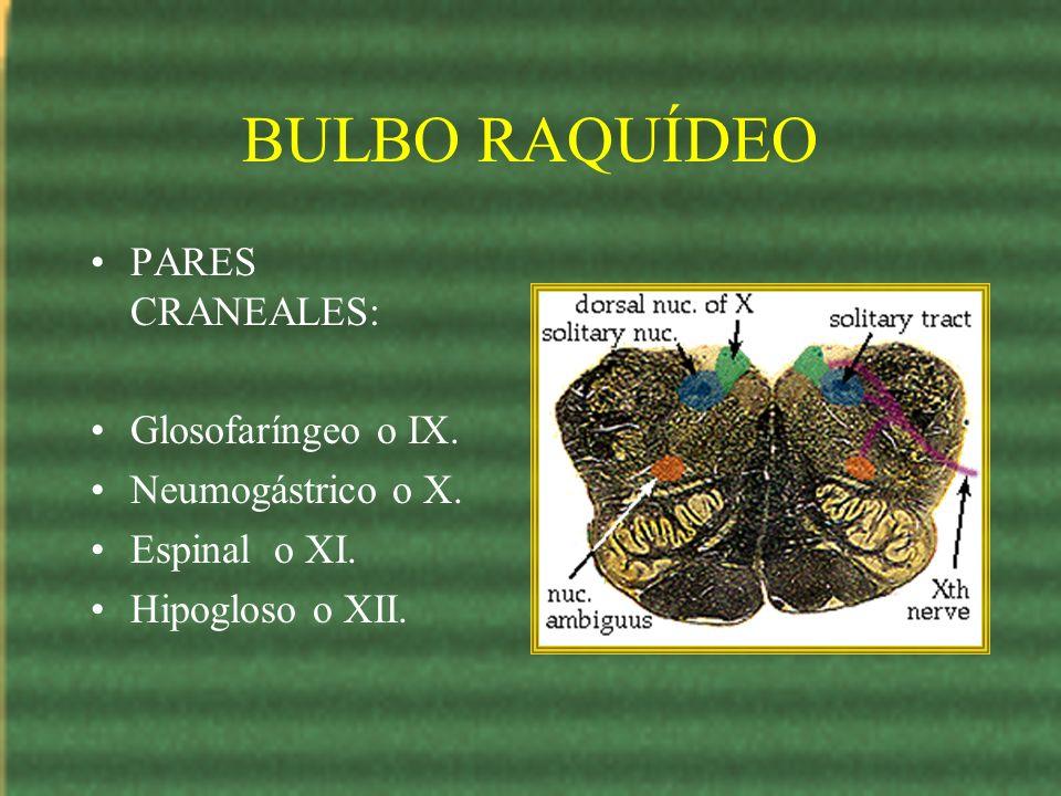 BULBO RAQUÍDEO PARES CRANEALES: Glosofaríngeo o IX. Neumogástrico o X. Espinal o XI. Hipogloso o XII.