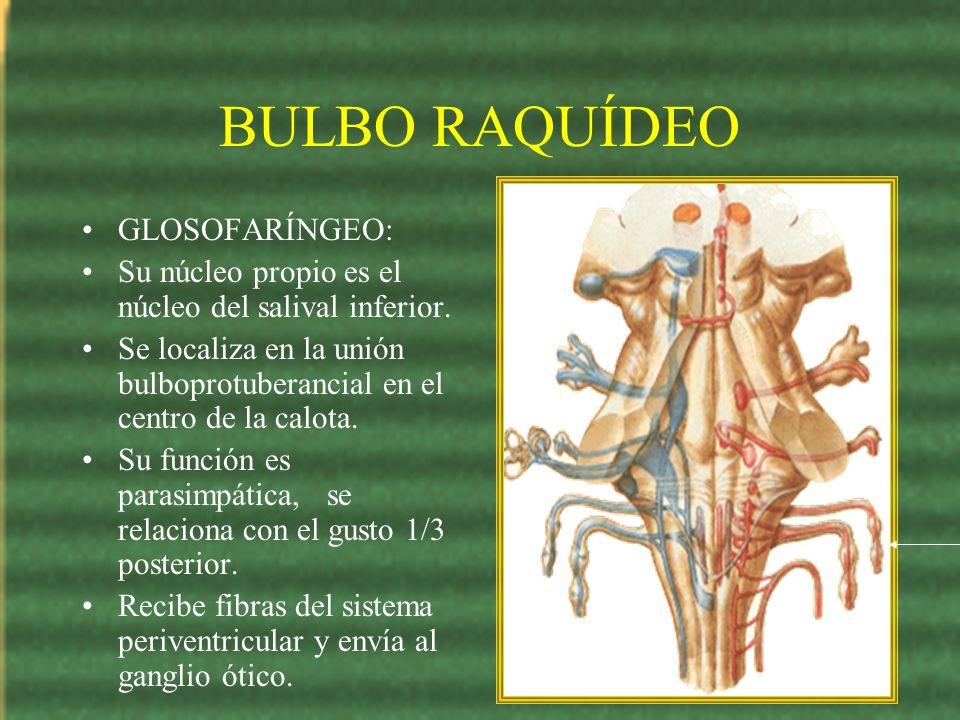 BULBO RAQUÍDEO GLOSOFARÍNGEO: Su núcleo propio es el núcleo del salival inferior. Se localiza en la unión bulboprotuberancial en el centro de la calot
