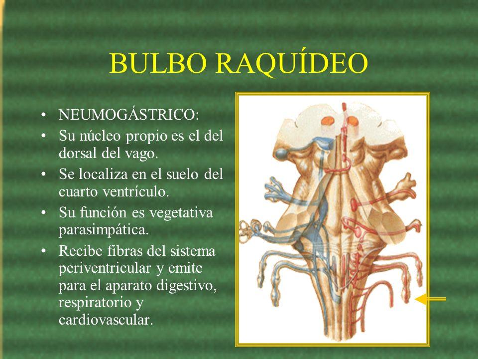 BULBO RAQUÍDEO NEUMOGÁSTRICO: Su núcleo propio es el del dorsal del vago. Se localiza en el suelo del cuarto ventrículo. Su función es vegetativa para