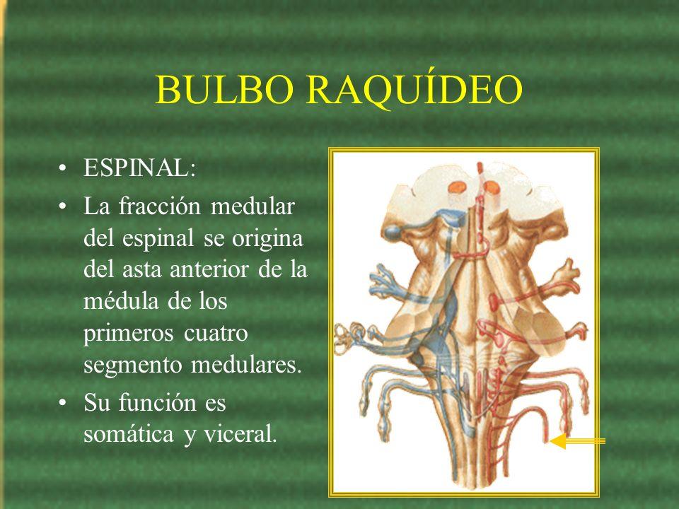BULBO RAQUÍDEO ESPINAL: La fracción medular del espinal se origina del asta anterior de la médula de los primeros cuatro segmento medulares. Su funció