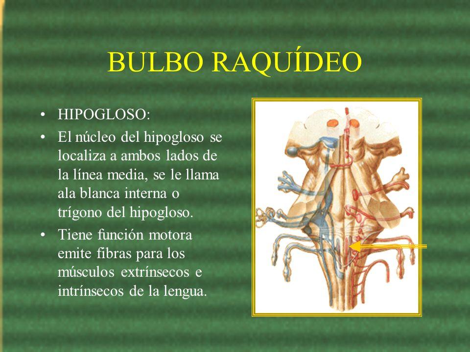 BULBO RAQUÍDEO HIPOGLOSO: El núcleo del hipogloso se localiza a ambos lados de la línea media, se le llama ala blanca interna o trígono del hipogloso.