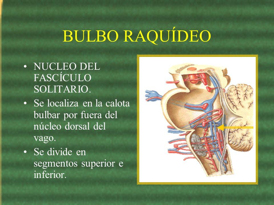 BULBO RAQUÍDEO NUCLEO DEL FASCÍCULO SOLITARIO. Se localiza en la calota bulbar por fuera del núcleo dorsal del vago. Se divide en segmentos superior e