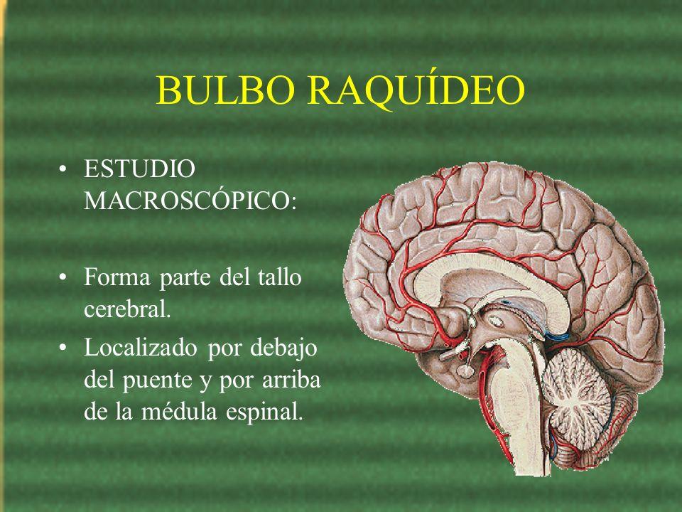 BULBO RAQUÍDEO ESTUDIO MACROSCÓPICO: Forma parte del tallo cerebral. Localizado por debajo del puente y por arriba de la médula espinal.