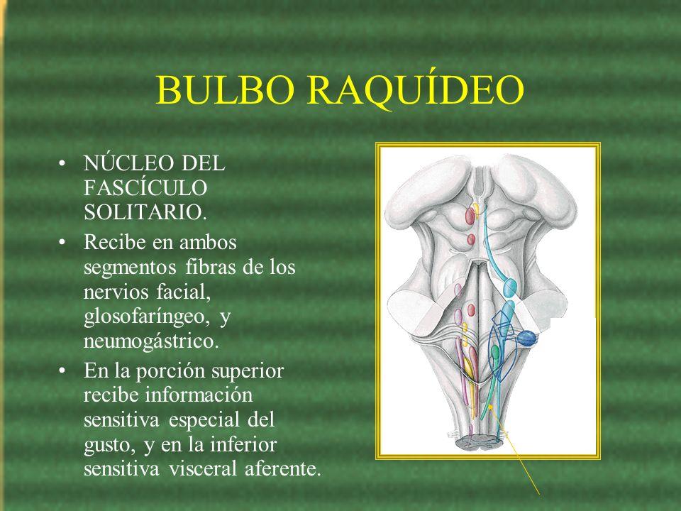 BULBO RAQUÍDEO NÚCLEO DEL FASCÍCULO SOLITARIO. Recibe en ambos segmentos fibras de los nervios facial, glosofaríngeo, y neumogástrico. En la porción s