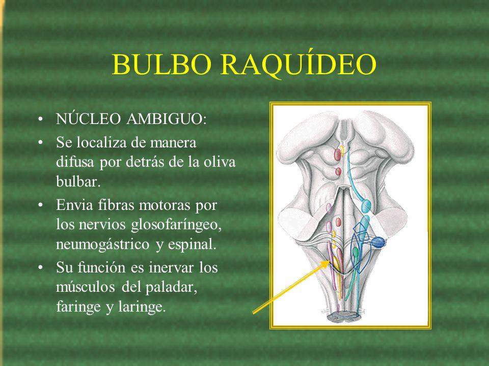 BULBO RAQUÍDEO NÚCLEO AMBIGUO: Se localiza de manera difusa por detrás de la oliva bulbar. Envia fibras motoras por los nervios glosofaríngeo, neumogá