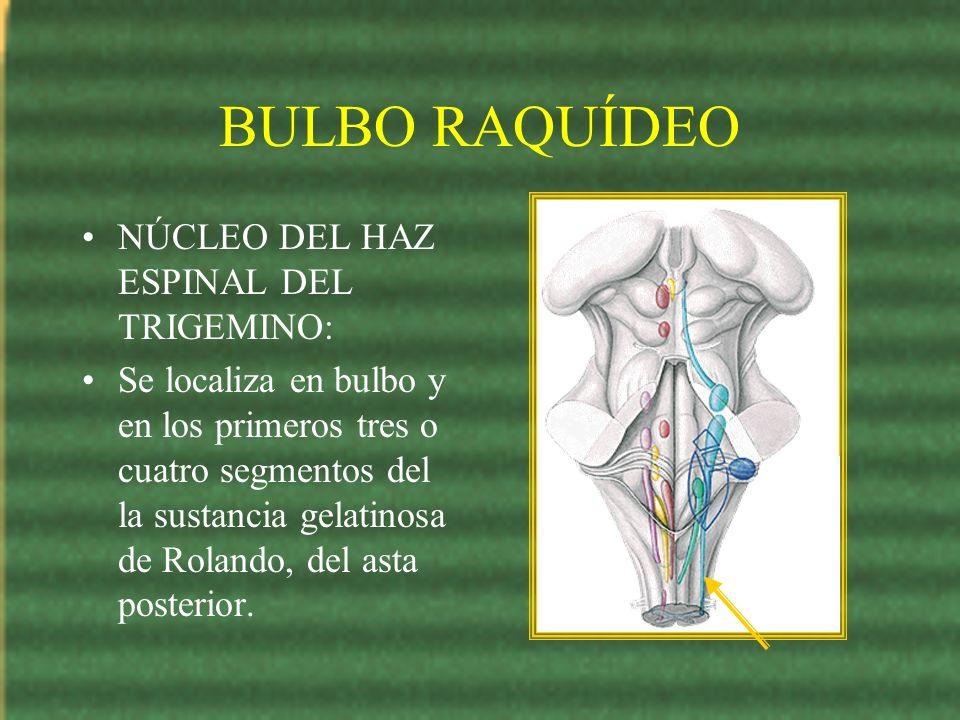 BULBO RAQUÍDEO NÚCLEO DEL HAZ ESPINAL DEL TRIGEMINO: Se localiza en bulbo y en los primeros tres o cuatro segmentos del la sustancia gelatinosa de Rol