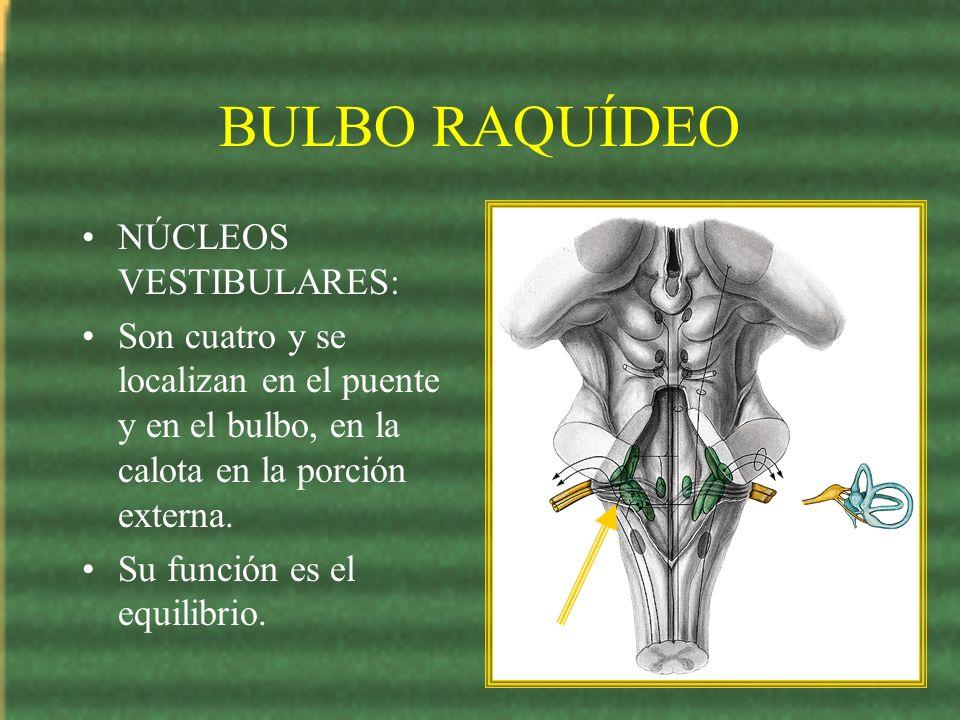 BULBO RAQUÍDEO NÚCLEOS VESTIBULARES: Son cuatro y se localizan en el puente y en el bulbo, en la calota en la porción externa. Su función es el equili