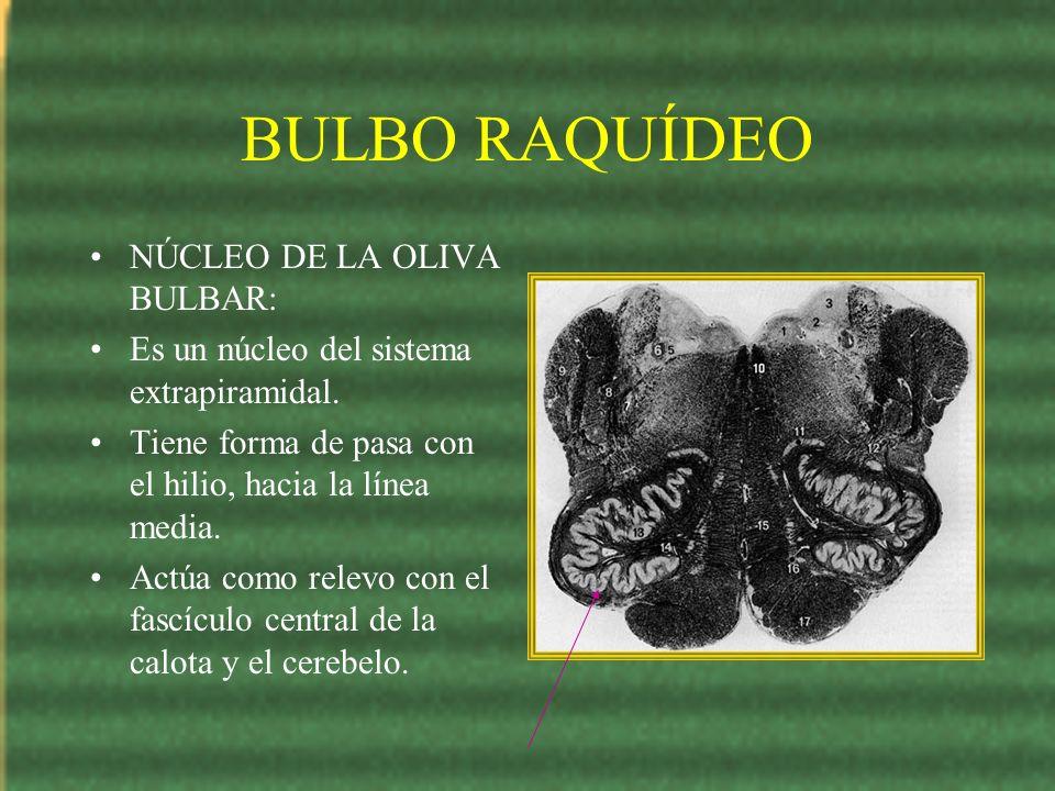 BULBO RAQUÍDEO NÚCLEO DE LA OLIVA BULBAR: Es un núcleo del sistema extrapiramidal. Tiene forma de pasa con el hilio, hacia la línea media. Actúa como